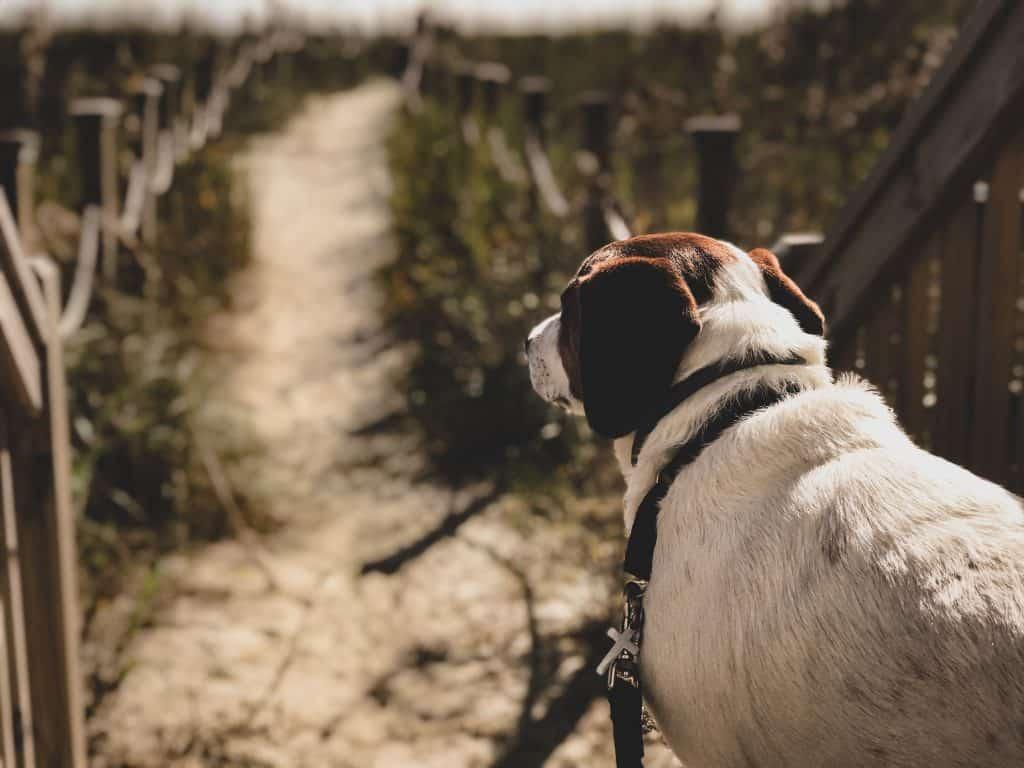 Dog Walking on Beach Path