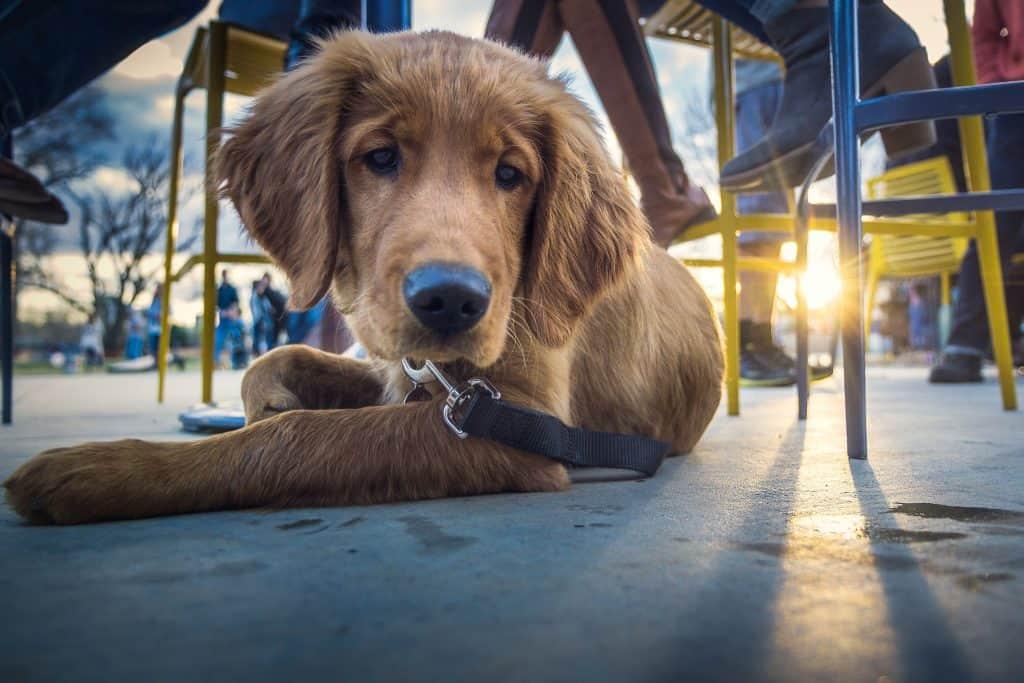 Puppy Under Table at Restaurant