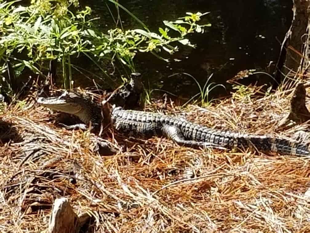Cypress Gardens Alligator