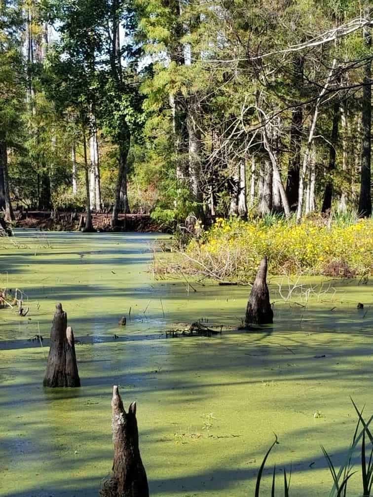 Cypress Gardens Swamp 2